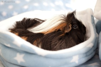 GuineaPigs-fleece-Ziggys Piggies-Ann Charlotte Photography@2016-4