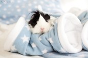 GuineaPigs-fleece-Ziggys Piggies-Ann Charlotte Photography@2016-6