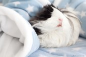 GuineaPigs-fleece-Ziggys Piggies-Ann Charlotte Photography@2016-7