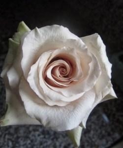 Quicksand Rose