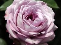 Heirloom Garden Rose