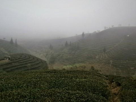 Ruta por Yunnan - Campos de Té de Puer