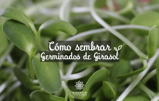 Cómo sembrar germinados de Girasol