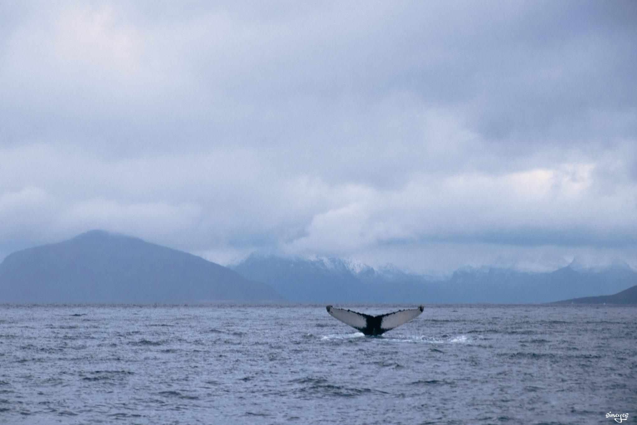 Half whale - Skjervøy, norvège