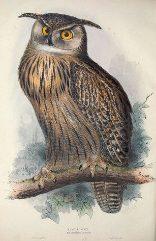 Simply called the Eagle Owl then, the Eurasian Eagle Owl is the one bird that is not found in Singapore. Included here as it is widely held that this drawing is one of the iconic one done by Edward Lear.
