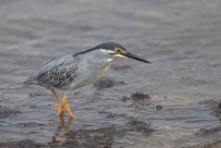 Striated Heron. A resident bird that is now in breeding pluamge. The orange legs is indicative.