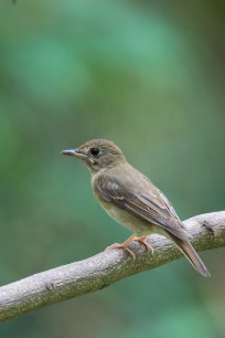 Side profile of Brown-chested Jungle Flycatcher