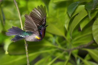 A male Copper-throated Sunbird flying off. Photo courtesy of ZaccHD