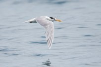 Lesser Crested Tern - flying above water
