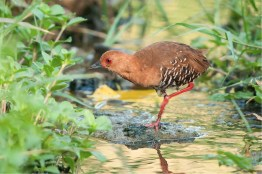 A Red-legged Crake hunting for food. Photo by ZaccHD