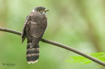 I missed this Malaysian Hawk Cuckoo during my un-official Big Year 2014.