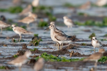Great Knots from Yishun Dam. Rare winter visitors/passage migrants to Singapore