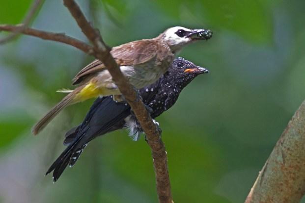 Alan_Ng-Square-tailed Drongo-Cuckoo-2