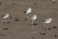 Common Redshank, Common Greenshanks and Marsh Sandpiper (flagged) at Sungei Buloh