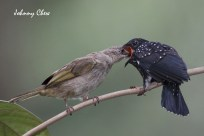 Johnny_Chew-Square-tailed Drongo-Cuckoo