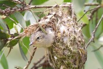 Littkle Bronze Cuckoo