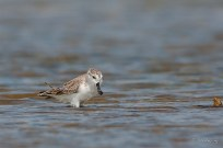 The critically endangered Spoon-billed Sandpiper at Pak Thale, Thailand. Photo by Shirley Ng