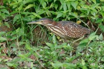 A female Von Schrenck's Bittern walling from one end of the freshwater pond to another at Sungei Buloh.