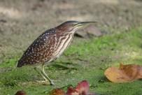 A female Von Schrenck's Bittern looking intently fro prey at a freshwater pond in Sungei Buloh Wetland Reserve.