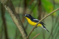 A bright male Yellow-rumped Flycatcher showing its side profile.