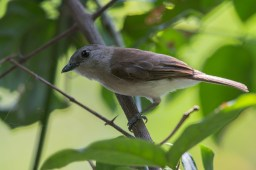 A Mangrove Whistler at Pulau Hantu in May 2014