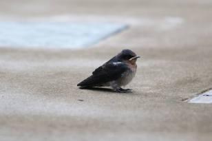 Pacific Swallows 1 Timothy Chua