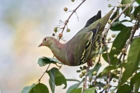 Subadult male Cinnamon Green Pigeon at Pulau Ubin. Photo Credit: Loke Peng Fai