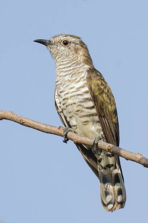 Female Little Bronze Cuckoo. Photo Credit: Francis Yap