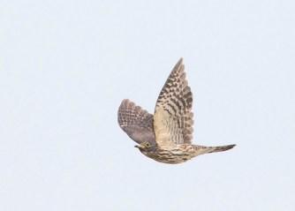 Juvenile Hodgson's Hawk-Cuckoo at Tuas South. Photo Credit: See Toh Yew Wai