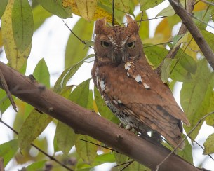 Rufous morph Oriental Scops Owl at Dairy Farm Nature Park. Photo credit: See Toh Yew Wai