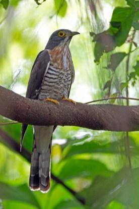 Adult Large Hawk-Cuckoo at Bidadari. Photo Credit: Alan Ng