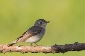 Asian Brown Flycatcher at Mt Faber. Photo Credit: Francis Yap