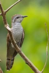 Banded Bay Cuckoo at Jelutong Tower. Photo Credit: Francis Yap
