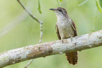 Juvenile Banded Bay Cuckoo at Lorong Halus. Photo Credit: Francis Yap