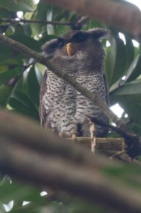 Barred Eagle Owl at Bukit Timah Nature Reserve. Photo Credit: Francis Yap