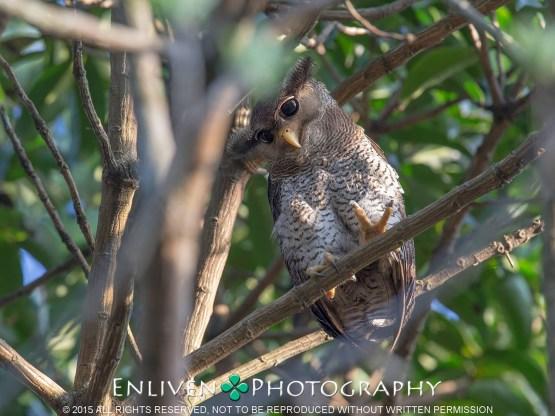 Barred Eagle Owl at Bukit Timah Nature Reserve. Photo Credit: Vincent Ng