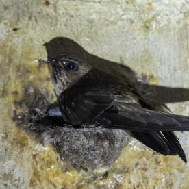 Black-nest Swiftlet at Sentosa. Photo credit: Francis Yap