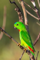 Male Blue-crowned Hanging Parrot at Jelutong Tower. Photo Credit: Francis Yap