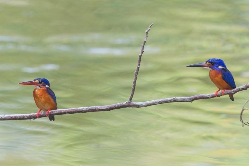 Blue-eared Kingfishers at NTL2. Photo Credit: Francis Yap
