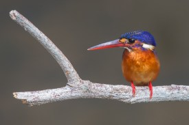 Subadult female Blue-eared Kingfisher at NTL2. Photo Credit: Francis Yap