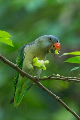 Male Blue-rumped Parrot at Venus Drive. Photo Credit: Francis Yap