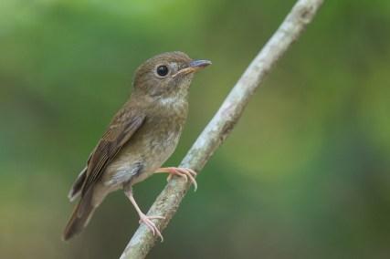 Brown-chested Jungle Flycatcher at Bidadari. Photo Credit: Francis Yap