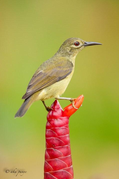 Female Brown-throated Sunbird. Photo Credit: Zahidi Hamid