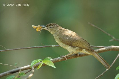 Buff-vented Bulbul at Panti Forest. Photo Credit: Con Foley