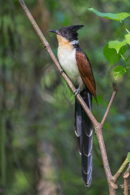 Adult Chestnut-winged Cuckoo at Jurong Eco Garden. Photo Credit: Francis Yap
