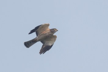 Juvenile female Chinese Sparrowhawk at Jelutong Tower. Photo Credit: Francis Yap