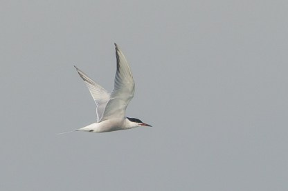 Common Tern in breeding plumage at Singapore Strait. Photo Credit: Francis Yap