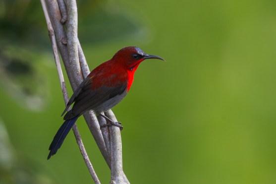 Male Crimson Sunbird at Jelutong Tower. Photo Credit: Francis Yap