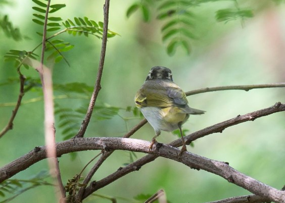 Eastern Crowned Warbler at Tuas South. Photo Credit: See Toh Yew Wai