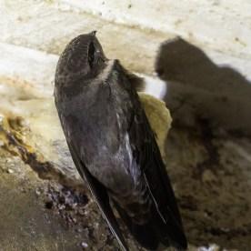 Edible-nest Swiftlet at Sentosa. Photo credit: Francis Yap